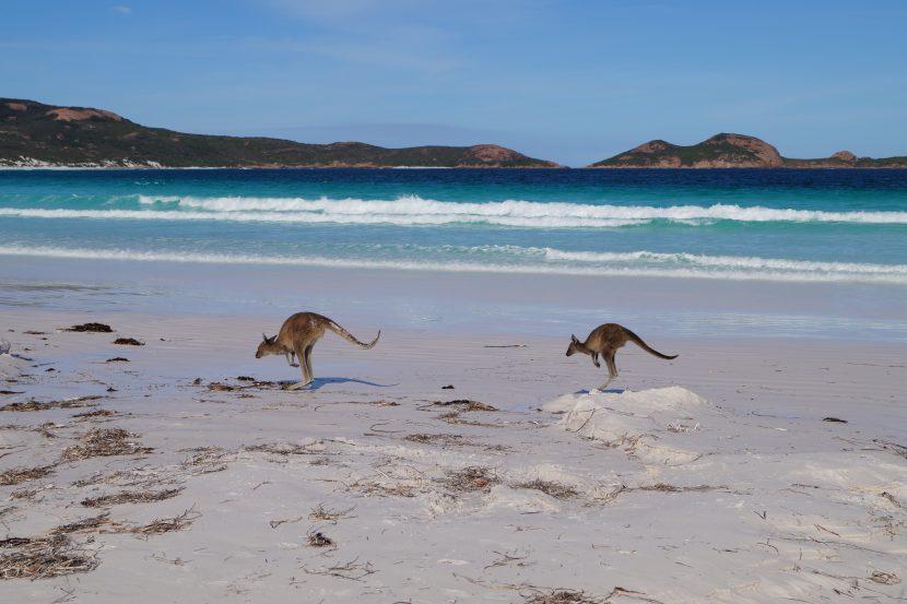 Kangourous sur la plage