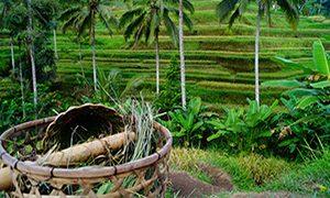 Rizières_Bali