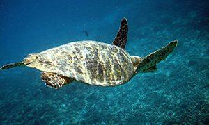 Nager avec les tortues à Gili